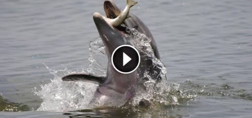 dolphins feeding