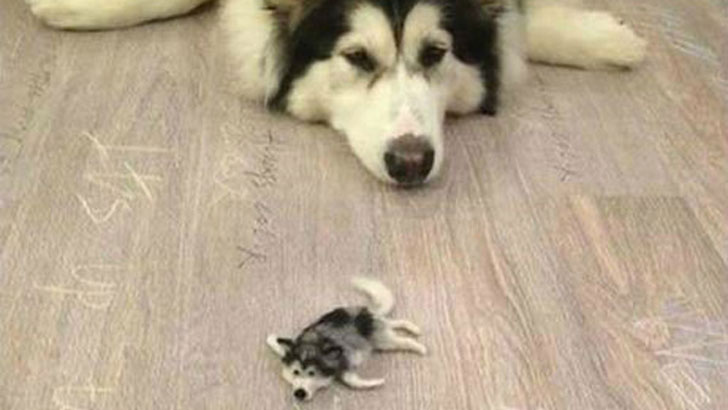 Guy Creates A Miniature Version Of His Husky Dog