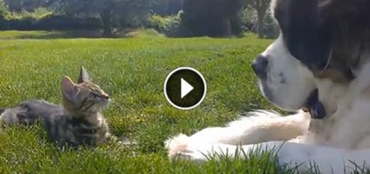 big dog vs tiny kitten