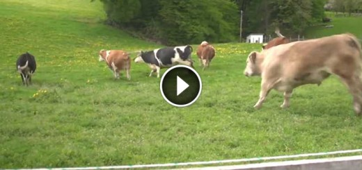cows jump