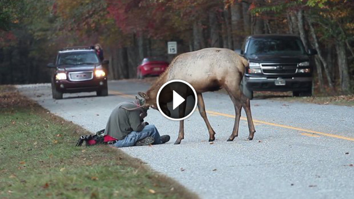 Image result for This Intense Encounter Between Elk and Photographer Will Give You Sweaty Palms..