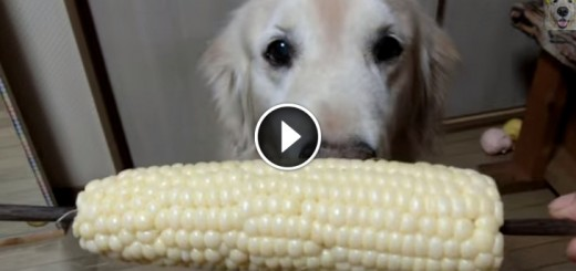 golden retriever eat corn