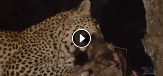 leopard save baby monkey