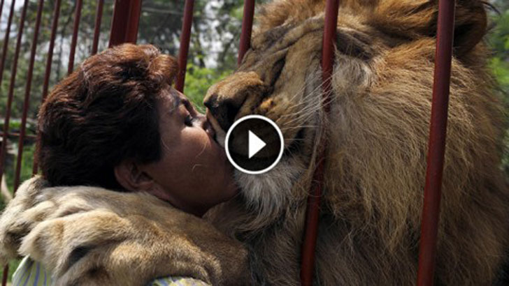 Image result for How This Lion Reacts When Seeing Its Rescuer Again Is Just Amazing