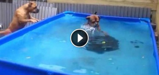 pair of bulldogs take tire from pool