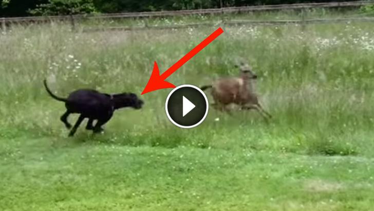 Video Of Guy Chasing Dog Chasing Deer