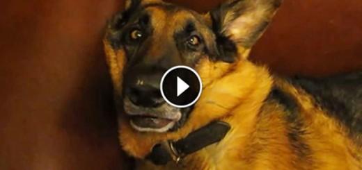 German Shepherd Wakes Up From Deep Sleep