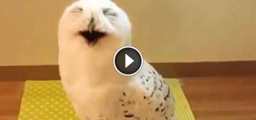 Laughing Owl Loud