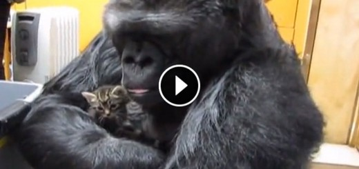 gorilla plays with kittens video