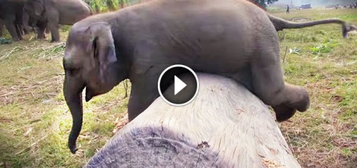 Clumsy Baby Elephant