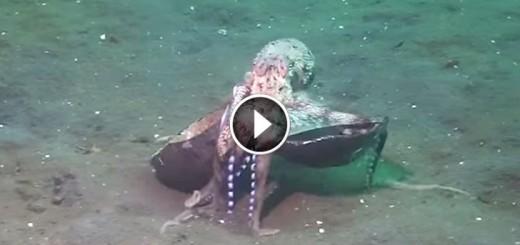 crafty octopus coconut underwater