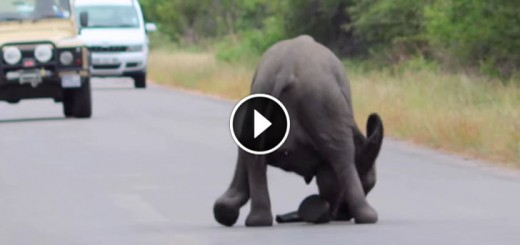 elephant collapses road