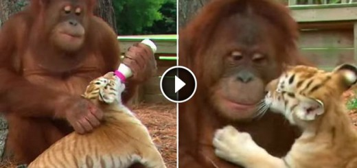 orangutan-tigers