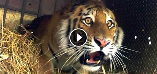 amur tiger released