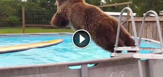 grizzly bear swimming pool