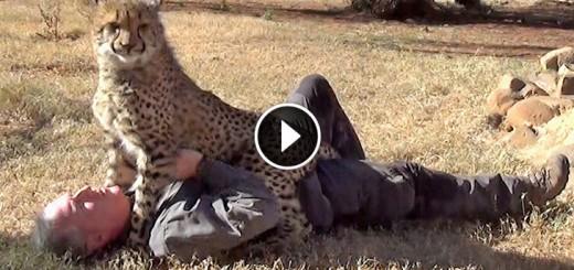 loving female cheetah