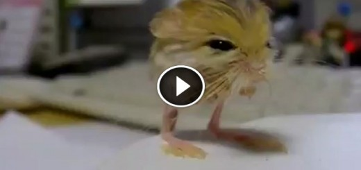 pygmy jerboa animal
