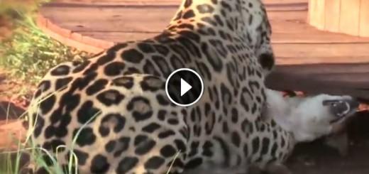 jaguar-dog