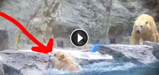 polar bear mom saves baby