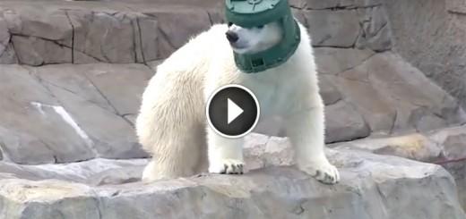 polar bear ranger