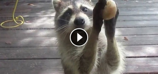 raccon steal food