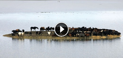 island trapped horses
