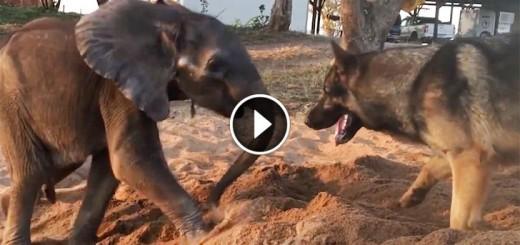 baby-elephantdog