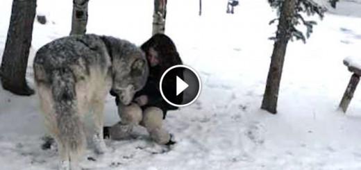 huge-wolf