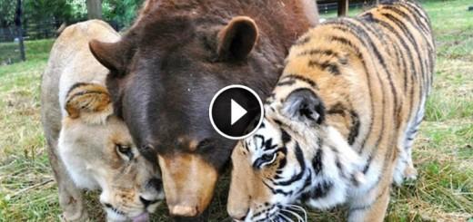 bear lion tiger friends