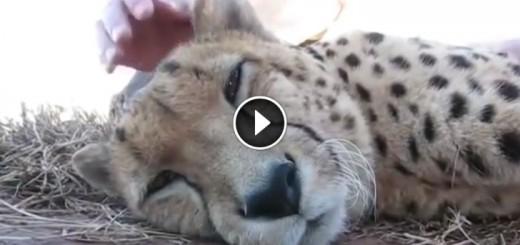 sleepy-cheetah