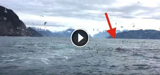 whale-feeding