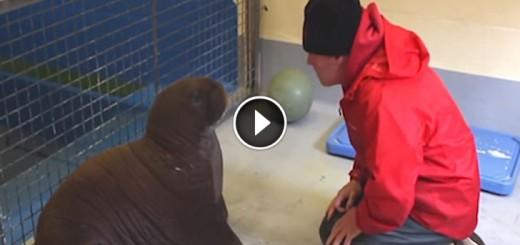 baby-walrus