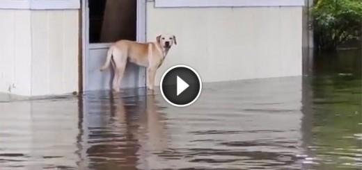 dog-flood