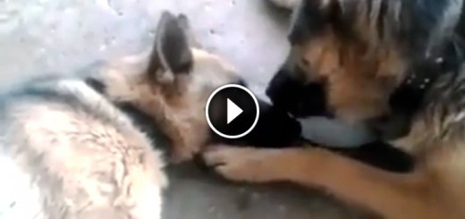 dog father licks mom