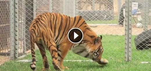 hoover-tiger
