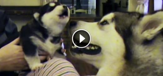puppy howls mom