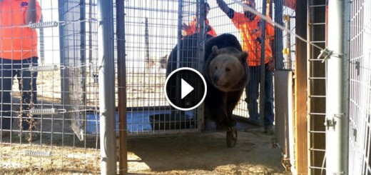 bears resque free
