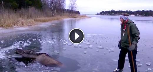 moose-ice