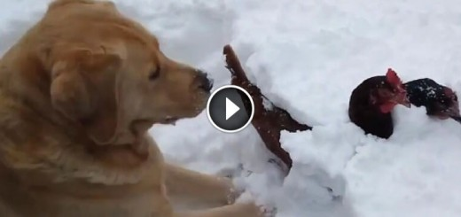 dog-snow-chicken